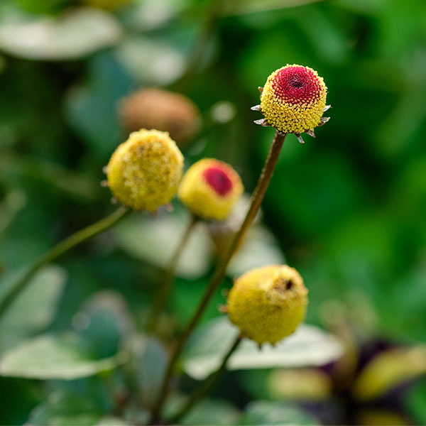 The Eyeball Plant or Tooth Ache Plant... aka - Spilanthes oleracea