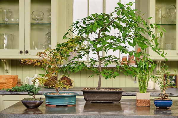 My Friend Dusty- stops by to share a few of his Bonsai Trees- as well as tips for Bonsai Success!
