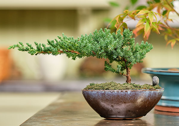 This simple Juniper Bonsai- is what you may see at at a grocer or nursery.