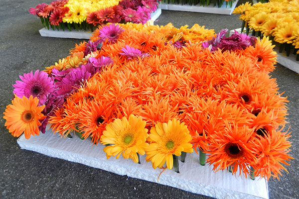 Millons of Flowers- including Gerbera Daisies are placed in Vials before placement on the Rose Parade Floats... WOW!
