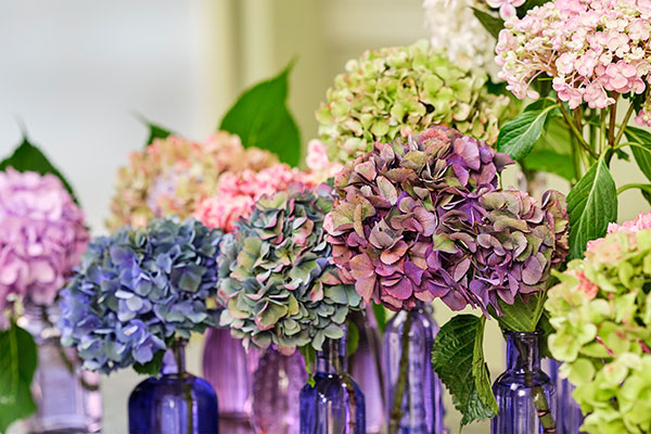 The Featured Flower is Hydrangea- and who doesn't love Hydrangeas???
