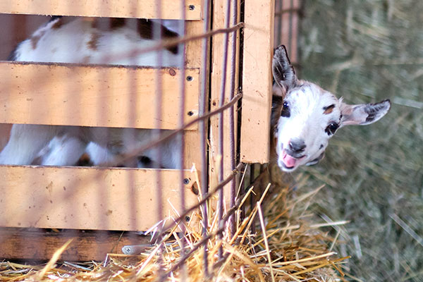 Cathy- (the baby goat) WANTS her breakfast NOW- hurry up! hehehe!