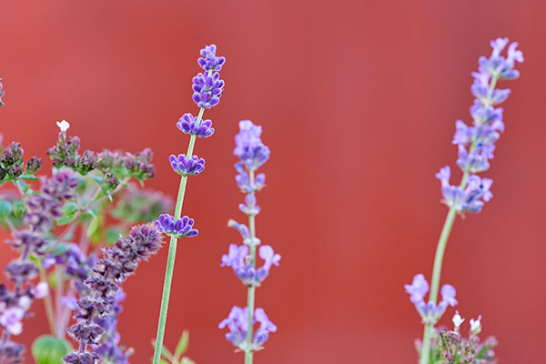 Of course- Lavender is the Featured Flower- for this episode - All about Lavender!