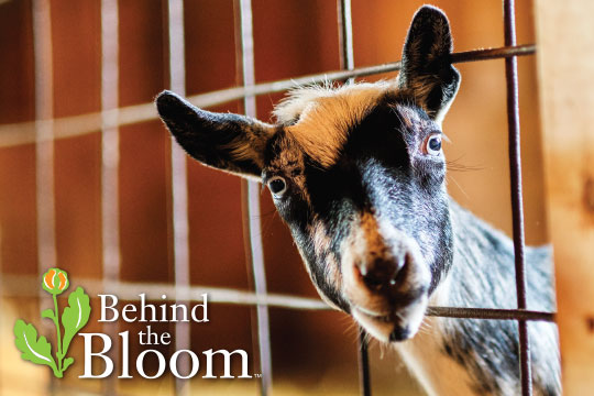 Behind the Bloom_With Goats and my Friend Katie Kuipers