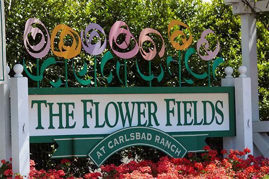 """Maintained by Mellano and Co. the Flower Fields in Carlsbad are blooming- and featured in this episode of """"Life in Bloom"""""""