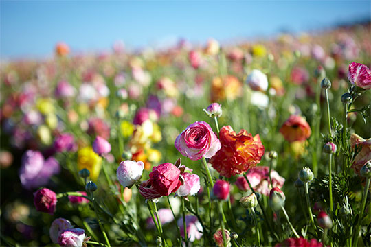 Just a few of the Millions of Ranunculus you can experience at the Carlsbad Flower Fields