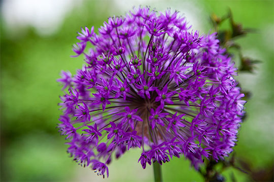Allium is often referred to as the Dr. Seuss Flower -a large Purple Ball shaped bloom- atop a slender green stem - indeed it looks like a flower the Lorax would use for Flower Arranging!