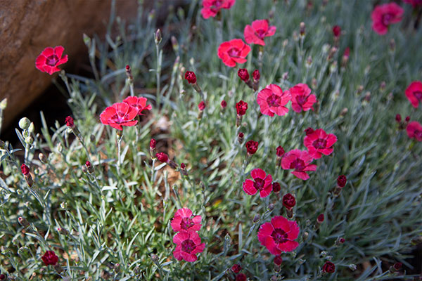 A Favorite Flower- I must have carnations in the garden- and the delicate perennial dianthus- are wonderful additions to small budvases - tucked around the house... Always Carnations!