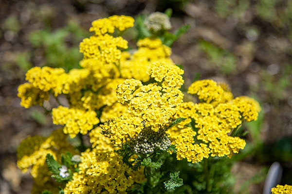 Yarrow- whether it's the traditional yellow- or Pink toned Cottage Yarrow- or the Golf Ball Shaped Craspedia- provide all sorts of options for flower arranging!