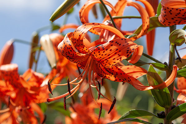A personal favorite- and also my Grandmother's Namesake- the Tiger Lily now comes in different colors and forms- but rest assured- this is Lily is a TIGER when it comes to flower arrangements!