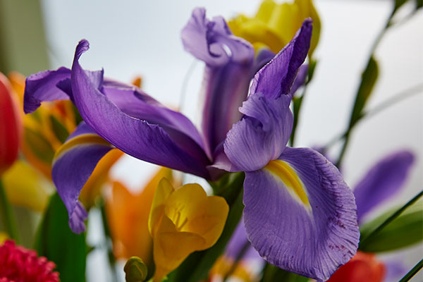 There are so many different kinds of Iris- and every variety offers dramatic options for this form flower. Bearded ,Swamp, Telstar and more- there's an Iris for just about any opportunity!