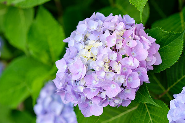 Blue or Pink- or anywhere in between- Hydrangea can provide an amazing anchor and focal area for your flower arrangement!