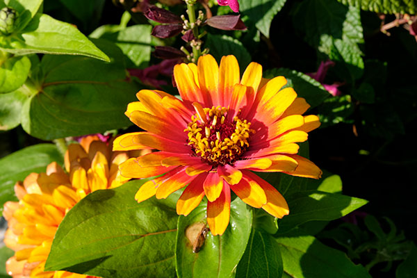 Who could resist the allure of Zinnia- in such a wide variety of colors- and long lasting in a vase or arrangement- I keep Zinnias in vases all summer long!