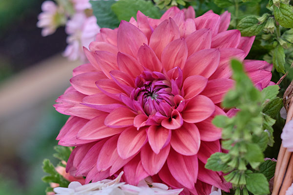 A Must have- in the cutting garden- whether it's Dinner Plate (Show Stoppers) or petite smaller sizes- Dahlias are one of the most versatile flowers- when it comes to shape, size and color... Dahlias are a MUST!