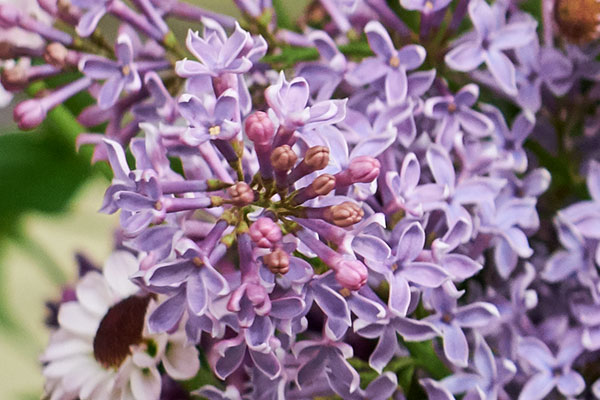 Leave the leaves- when cutting Fresh Lilac for flower arranging- and don't hammer the stem- both of these tips will give you the Best Results with Lilac!