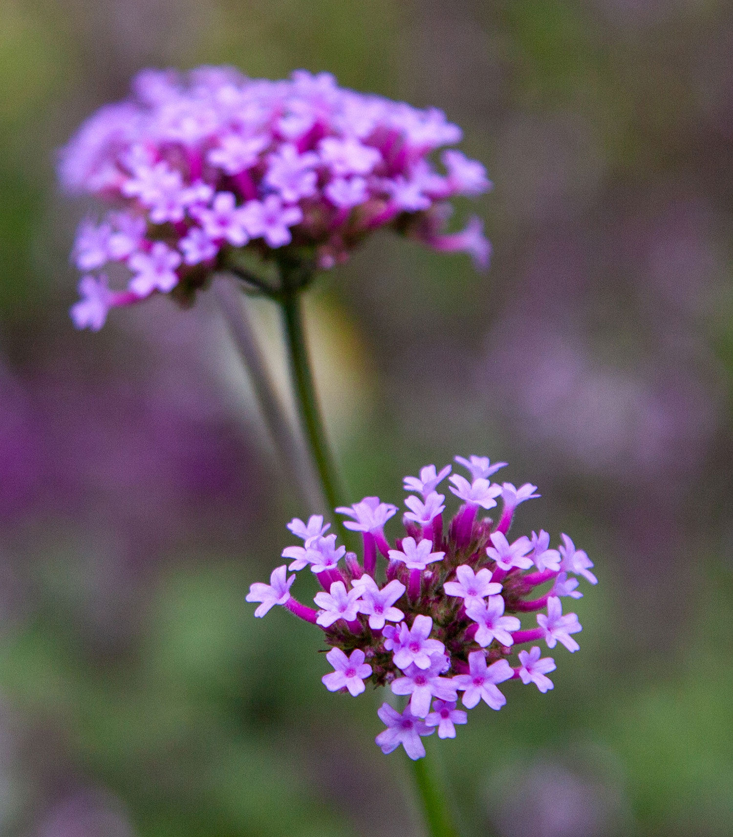Tall Purples ( or Verbena Bonariensis) are the Featured Flower on this episode of Life in Bloom!