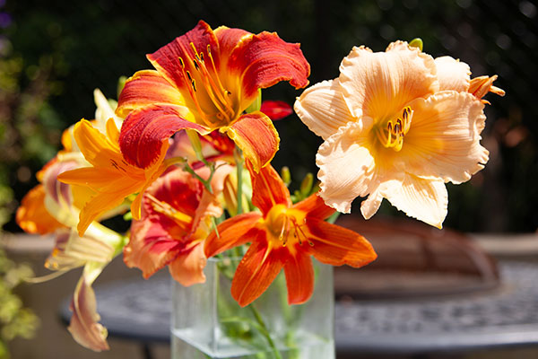 "The Day Lily comes in so many shapes and sizes- and while not actually a ""Lily"" - it may be more familiar - as an easy garden element!"