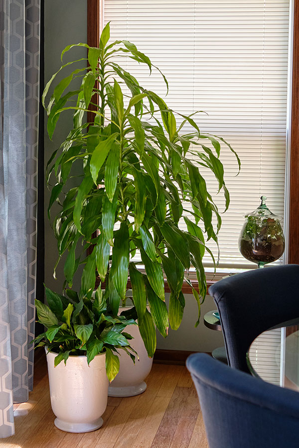 Plants - like the peace lily or corn plant- help us purify the air in our homes- and can remove many toxins!