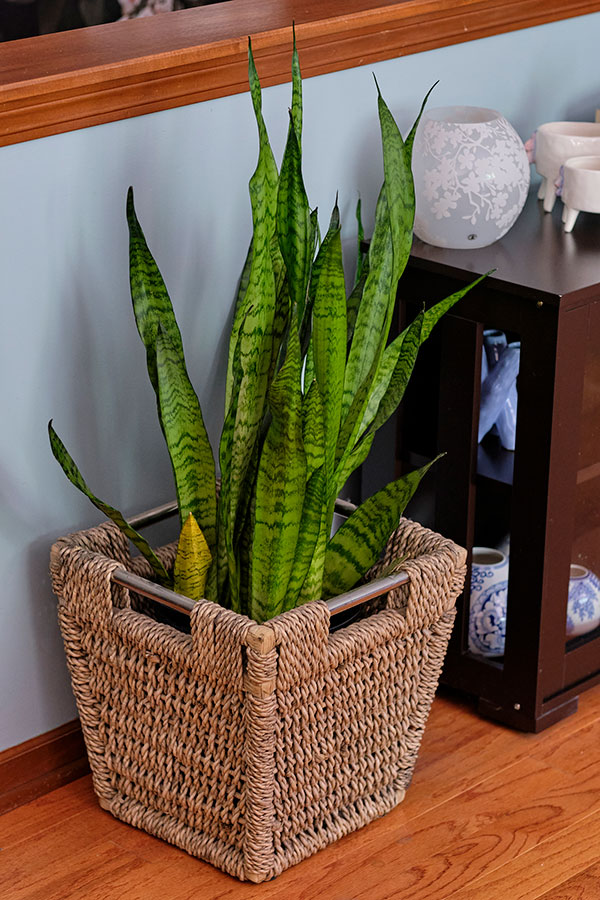 The Sansevieria - also known as the Snake Plant or Mother-In-Law's Tongue - is a great choice for a houseplant! A low maintenance plant that thrives on Neglect!