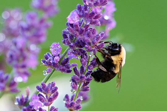 Seems that research shows- that Bees BITE Plants to induce them to flower sooner... Who Knew??? Smart Bees!