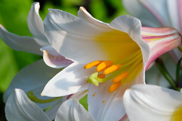 Lilies in Bloom - is the theme of Episode #305 of J Schwanke's Life in Bloom!