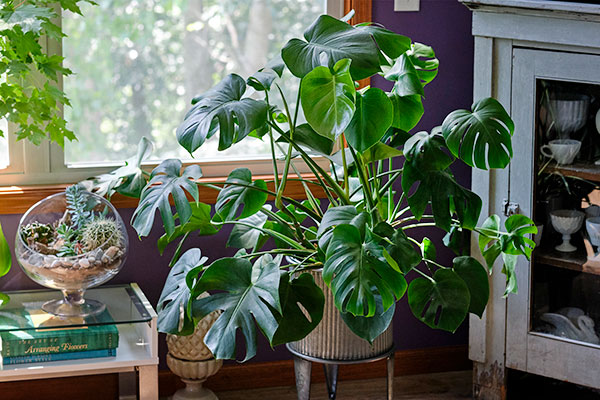 I'm obsessed with Monstera Plants- they are low maintenance and I love 'knicking' a leaf now and again for my flower arrangements!