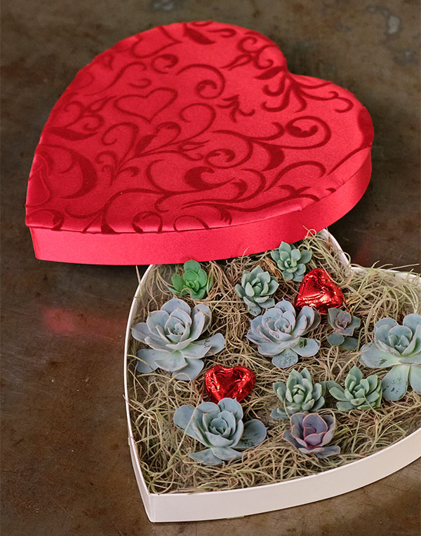 Repurposing a Lovely Heart Shaped box (formerly filled with chocolate candy) can be Fun- by adding mini succulents!