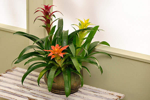 Here's a great plant that combines both Green and Flowering Plants- that will help purify our air- and look beautiful too!