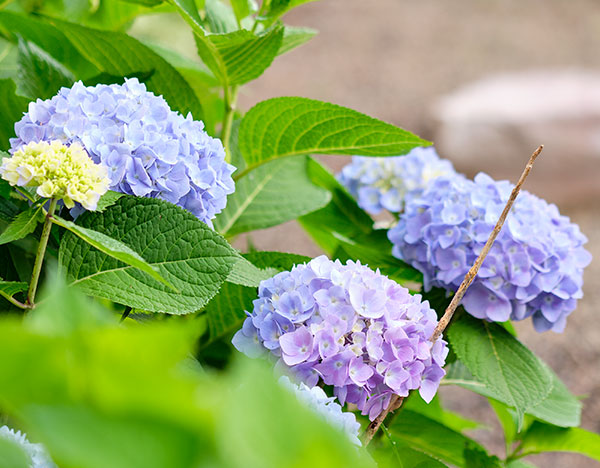Blue or Pink- or somewhere in between can happen when you have different soil content...