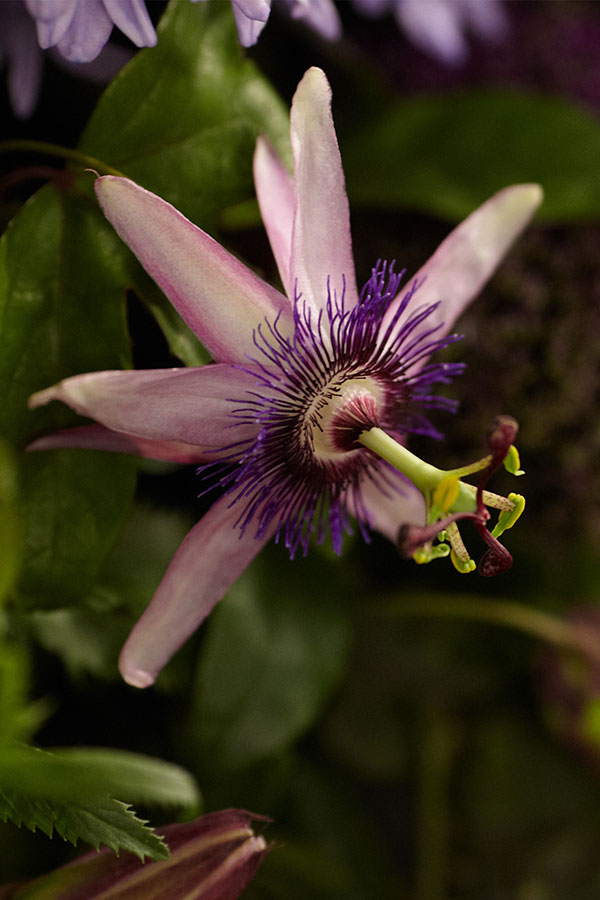 The Passion Flower - is the Featured Flower for our Purple Passion Episode!
