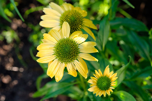 The Featured Flower for this episode is Echinacea!