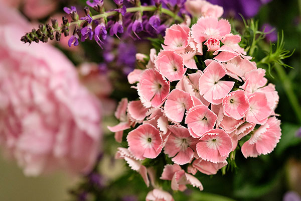 Sweet William is another classic and traditional flower for Memorial Day...
