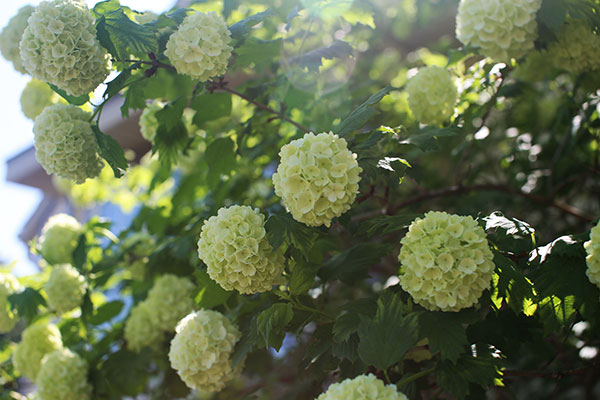 """Snowball Viburnum- growing in my Flower Garden- one of my favorites for """"ARRANGE-Plant""""- ing- and for adding to arrangements!"""