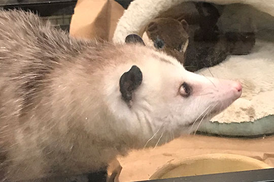 Sylvia- the Opossum- is an Animal Ambassador for the Blandford Nature Center!