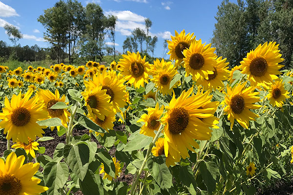 Of Course- the featured flower for this week- is the Sunflowers- learn more about this Sunshine Flower- in this episode of Life in Bloom!
