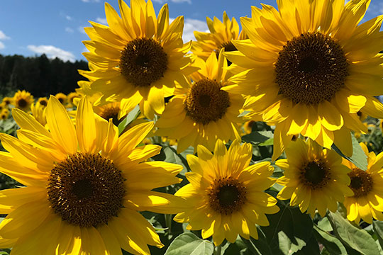 Sunshine Flowers- The Sunflower is featured in this Episode #312- of J Schwanke's Life in Bloom!
