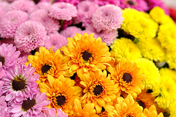"""Spray Chrysanthemums are the featured flower in this """"Mums the word"""" Epsiode of Life in Bloom!"""