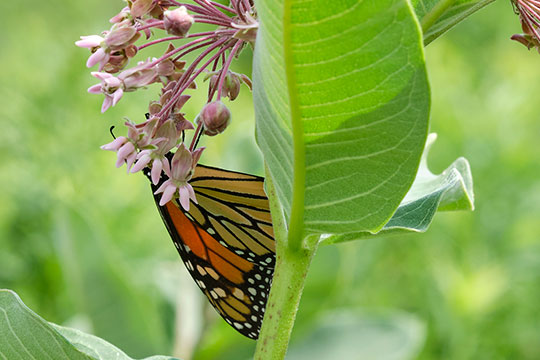 The Monarch Butterflies- stopping by the Milk Weed for lunch at the Golinski Yard!
