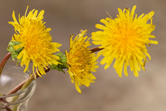 Dandelions- are the Featured Flower on this Nature Centered Episode!