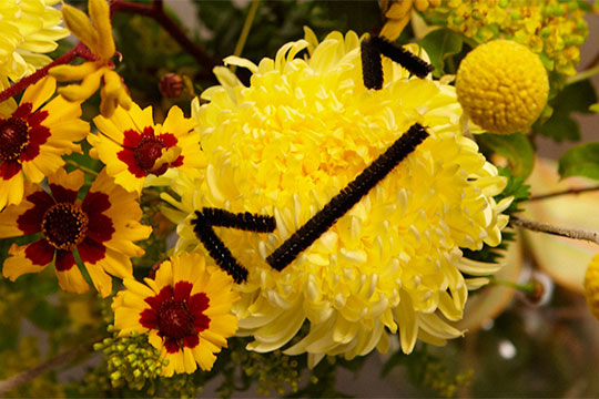 Mum's the word, today on Life In Bloom, Chrysanthemum, that is. We'll explore the many shapes sizes and colors of this durable, long-lasting flower. We'll learn how they're grown, I'll show you a fun craft, we'll even have a Chrysanthemum Cocktail - say that 3 times fast!