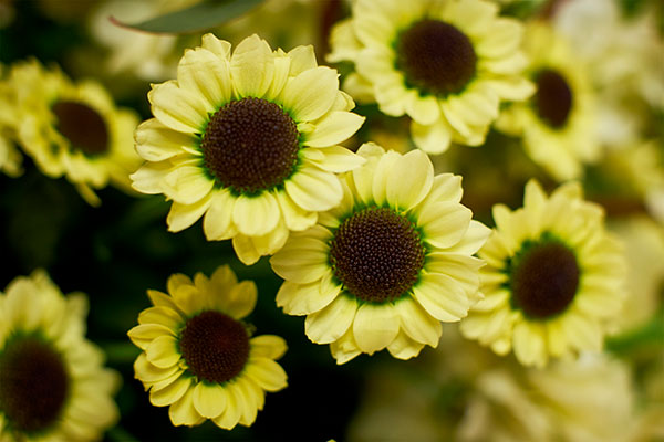 YinYang Chrysanthemums- make many appearances in this show- I love their JET BLACK Centers- they really grab your attention!
