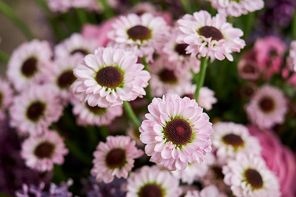 There's such diversity in the world of Chrysanthemums- this YinYang variety is the prettiest shade of pink... Mum's the word!