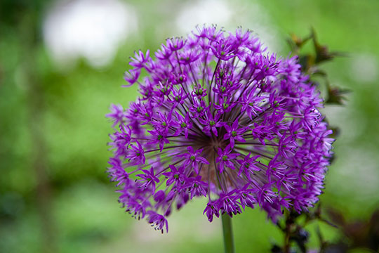 Allium and Bearded Iris Arrangement