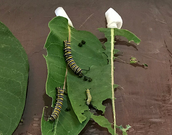 Monarch Caterpillars feast heavily on Milk weed Leaves during their life-span... a daily project for Laura and her family!