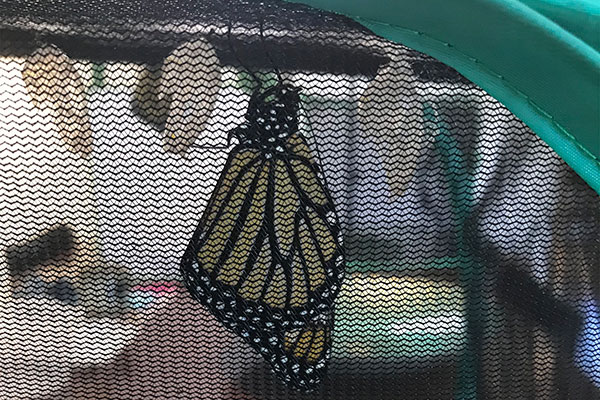 I learned the difference between cocoons and chrysalis- from Laura's Kids... as they walked me through the metamorphosis of the Monarch Butterfly!