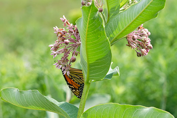 The Monarch Butterflies are attracted to the Milk Weed- that grows wild on Laura's Property!